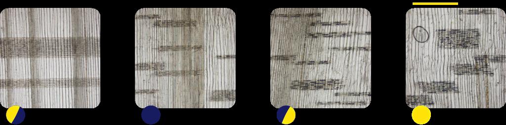 図1.三重県で伐採したスギ辺材部のまさ目切片の顕微鏡写真。色の濃い部分が細胞内のデンプン。左から下弦期伐採、新月期伐採、上弦期伐採と満月期伐採。