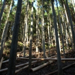 皮をむいて葉枯らし乾燥中の杉
