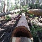 伐採直後の杉の木口
