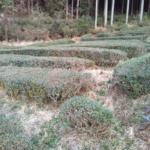 お茶畑の剪定作業をしました。