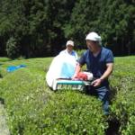 「茶摘み」も楽しくできました〜!